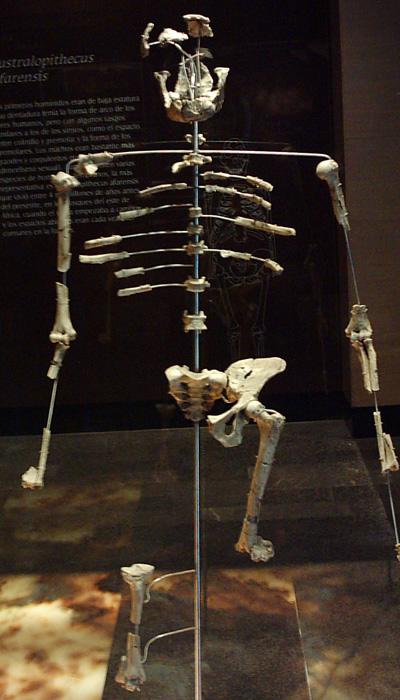 """replica dello scheletro """"Lucy"""""""